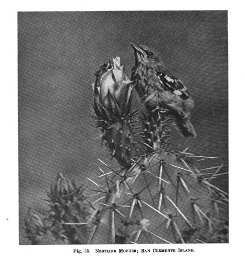 Mockingbird 2 - Condor Magazine 1922